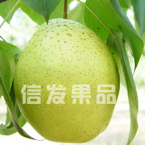 Snow pear, Xue pear, Snowflake Pear - fresh juice sweet