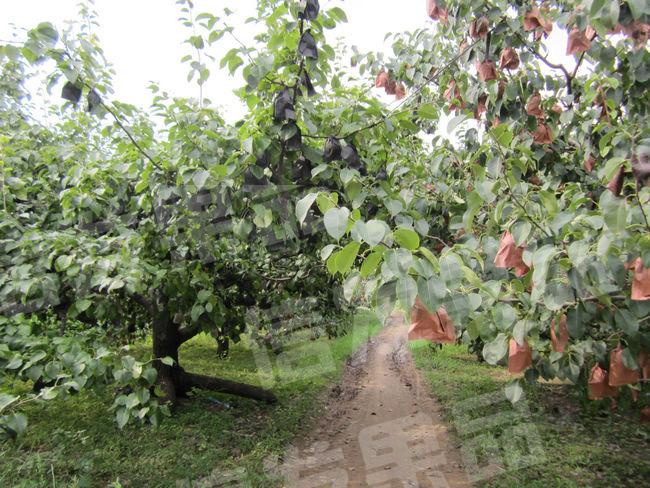 皇冠梨果园