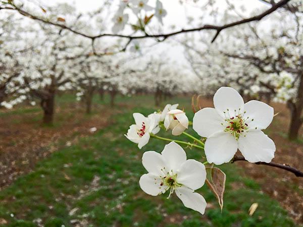 梨花节图片