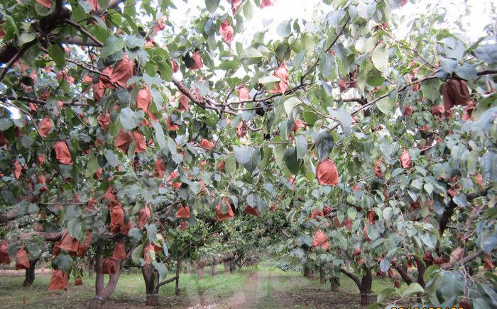 Qiuyue pear